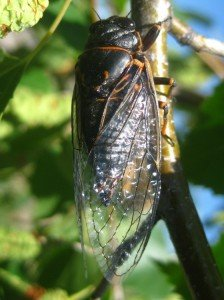 Mountain Cicada, Photo courtesy of Afrogster Photography