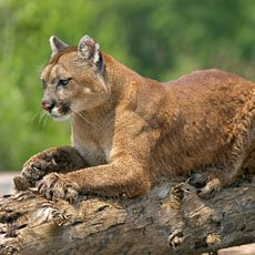 Cougar - Wildlife of Jackson Hole and Grand Teton