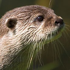 River Otter - Wildlife of Jackson Hole and Grand Teton