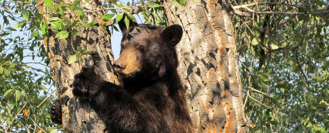 Wildlife photo taken on a Barker Ewing Grand Teton Scenic Float Trip: Black bear climbing tree