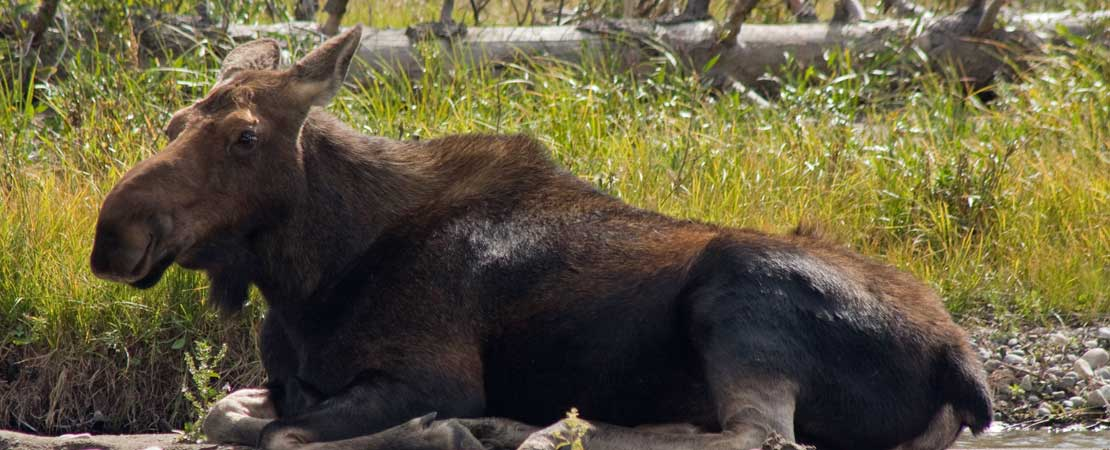Cow moose laying near Snake River - photo taken on a Barker Ewing Grand Teton Scenic Float Trip