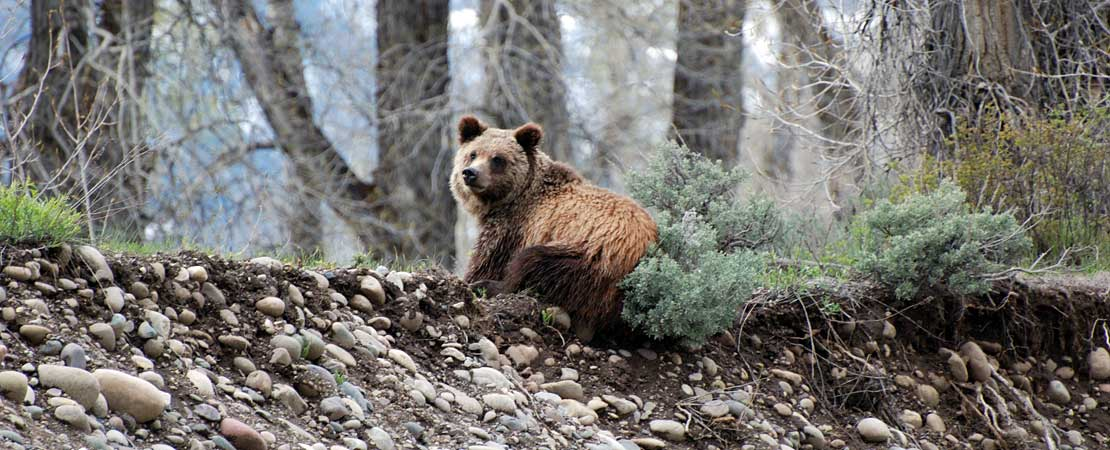 Grizzly bear on Snake River bank - photo taken on a Barker Ewing Grand Teton Scenic Float Trip, photo courtesy of Brett & Jude Haywood