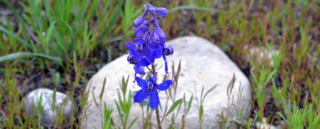 Blue larkspur flower - photo taken on a Barker Ewing Grand Teton Scenic Float Trip