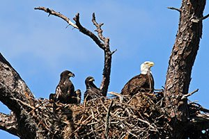Baby Bald Eagle Learning to Fly - YouTube