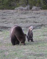 a grizzly sow and her cub
