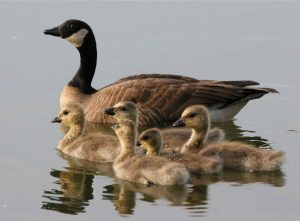 lesser-canada-geese-female-bird-with-brood-swimming-in-water-branta-canadensis